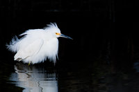 Florida, Snowy Egret,  Wading Birds,Cottonball,snow,Plumage,Shadow