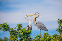 Heart To Heart,Venice Rookery, Florida, Bird,Nest, Great Blue Heron