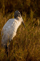 Sitting In Gold,Animal,Bird,Horizontal,Mycteria Americana,Wading Bird,Wildlife,Wood Stork,Woodstork