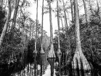 Standing Tall, Black and white, Georgia, Trees, swamp, BW, B&W, Black, White