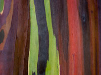 The Rainbow,Kauai,Rainbow Eucalyptus tree,Colors