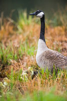 Guardian,Goose, Canada Goose, Ducklings, Bird, New England, Massachusetts
