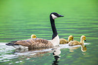 Three of a Kind,Goose, Massachusetts, mother, three, green