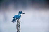 Count My Feathers,Belted King Fisher,New England,Hunting,Morning