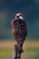 Tipped Wings,Diurnal Raptors,Massachusetts, Osprey