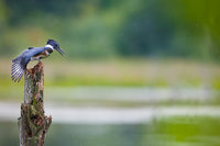 Watch Out Below,Massachusetts, Belted Kingfisher,Dive,Hunter