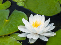 Lily,closeup,flowers,pond,Lily,New England,Spring,Pond,Flower,Scatter