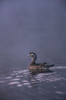 A Good Catch,Bird,Duck,Massachusetts,New England,Spring,Wood duck