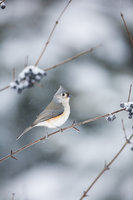 Tufting Out Winter,Tufted Titmouse, bird, New England,Bravo