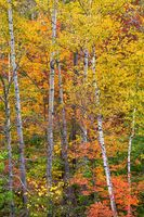 Autumn On Fire,Fall,Foliage,Autumn,White Mountain National Forest, New Hampshire,Color