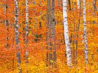 White on Fire,Autumn,Birch Tree,Crawford Notch,Forest,New England,Red,Trees,White Mountains,horizontal,orange