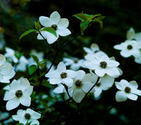 Starlets,Dogwood tree,Flowers,Smokey Mountains National Park,horizontal