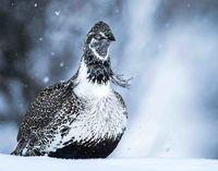 Sage grouse, winter, Grand Teton NP, Snowbound, Snow