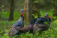Gobblers in the Wild,Smoky Mountains National Park, Wild Turkey, Bird, Meleagris gallopavo