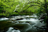 Dogwood Boughs,wood,Smoky Mountains National Park, Tennesse,mountains,green,horizontal, landscape,Trees,River,Spring,Shower,Lush