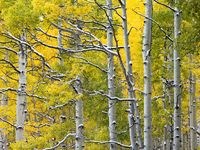 Snowy Branches,Uinta National Forest, Utah,snow,brown trees