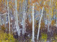 Catching Flakes,Wasatch National Forest, Utah,autumn,color,snow,storm