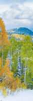 Start of Winter,Aspen,Fall,Trees,Yellow,autumn,panoramic,snow,vertical