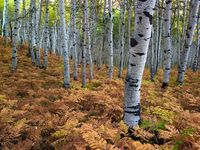 Within the Ferns,Autumn,Birch Tree,Forest,Utah,horizontal