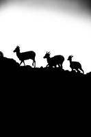 On the Move, Wildlife, Yellowstone National Park, Wyoming, Dall Sheep, hunt, cub, BW, B&W, Black, White