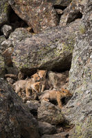 Siblings,Siblings,Yellowstone national park, coyote,venture,rock,caverns,world,vertical