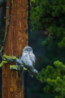 Hoo Hoo's Watching?,Great Grey Owl, bird, Strix nebulosa, Yellowstone National Park