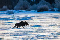 Carrying Forward, Grand Teton National Park, blue, snow, winter, Tetons, moose