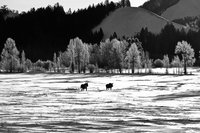 Moose on the Move, Grand Teton National Park, Snow, Cold, Winter, , BW, B&W, Black, White