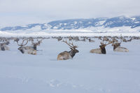 Hanging with the Guys,National Elk Refuge, Wyoming,cold,Winter,valley, elk
