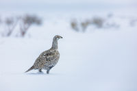 Winter Walk,Grand Teton National Park, Greater Sage-Grouse, Snow, Upland Game Birds, Wildlife, Winter