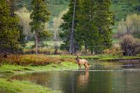 Walking on Water,Grand Teton National Park,reflection,trees,water,horizontal, elk
