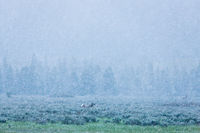 Spring Storms,rand Teton National Park,blue, green, grass,storm,horizontal,landscape, elk