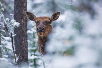 Snowy Hideout,Yellowstone National Park,snow,shelter, elk