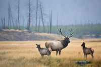 A Father's Turn,Yellowstone National Park,bull,autumn, elk