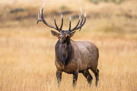 My Way,Yellowstone National Park,River,Valley,Autumn, elk