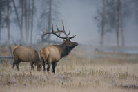 The Rack,Yellowstone National Park, Wyoming,bull,Autumn, elk