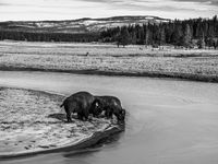 Icey Waters, Bison, Black and White, Yellowstone National Park, horizontal, Ice Water, , BW, B&W, Black, White