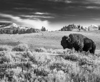 Classic Buffalo, Bison, Black and White, Yellowstone National Park, horizontal, Landscape, BW, B&W, Black, White