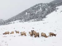 Big horn sheep, Elk Wildlife Refuge, Wyoming, winter