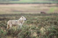 On the Hunt,Mammal,Spring,Wildlife,Wolf,Yellowstone National Park, Wyoming,Hunt,Valley
