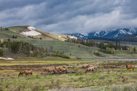 Elk on the Move,Elk,Mammal,Spring,Yellowstone National Park, Wyoming,Lake
