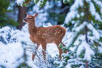 Spots,Calf,Elk,Mammal,Snow,Spring,Wildlife,Yellowstone National Park