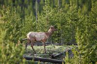 Losing Winter,Elk,Mammal,Spring,Wildlife,Yellowstone National Park, Wyoming,Winter