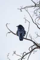 Raven Haven,Bird,Common Raven,  Spring,Yellowstone National Park