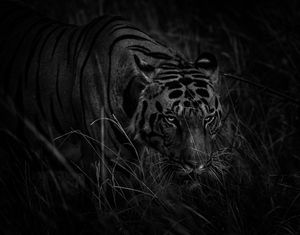 Nightwalker, Kanha National Park, India, tiger