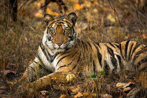 Cat's Eye, Bandhavgarh National Park, India, tiger, king