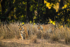The Team, Bandhavgarh National Park, India, tiger