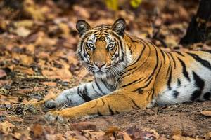 Resting Stripes, Tiger, India, Bandhavgarh National Park, India, wildlife