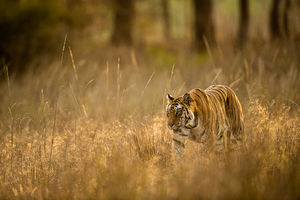 Morning Stroll, Bandhavgarh National Park, India, tiger, morning
