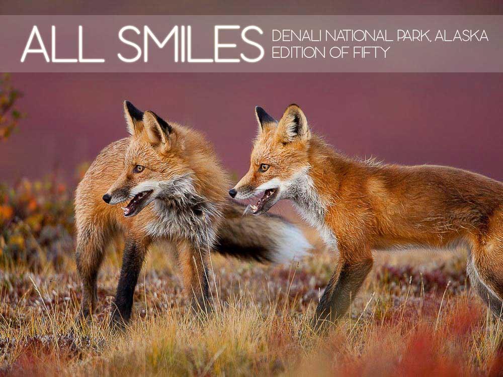All Smiles, Denali National Park, Alaska, Fall, Redtail Fox, Tundra, wildlife, Horizontal, Red and Blue